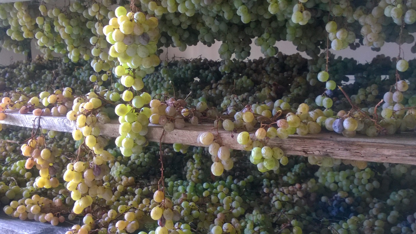 Beautiful grapes drying for $$$ Sciacchetra wine